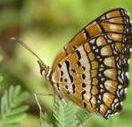 butterfly-waltz